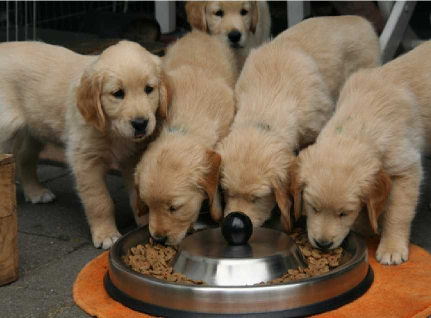 Puppy eating in a group
