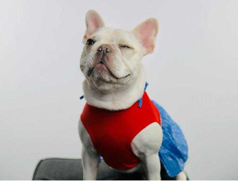 A cute French bulldog winking
