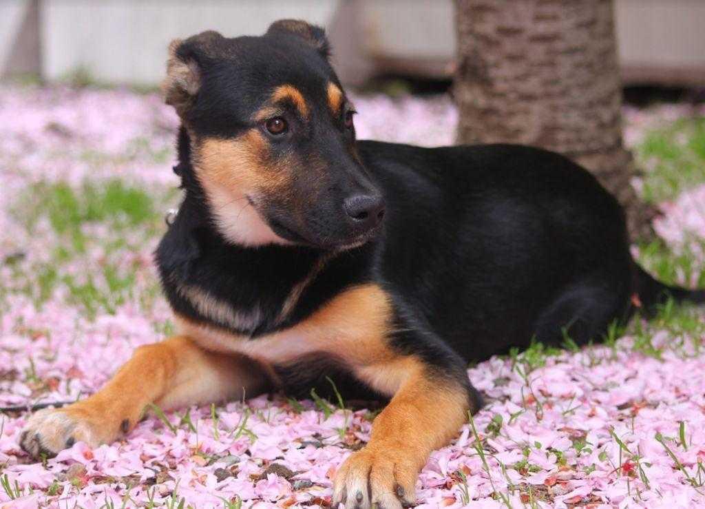 cherry-blossom-flowers-puppy-dog