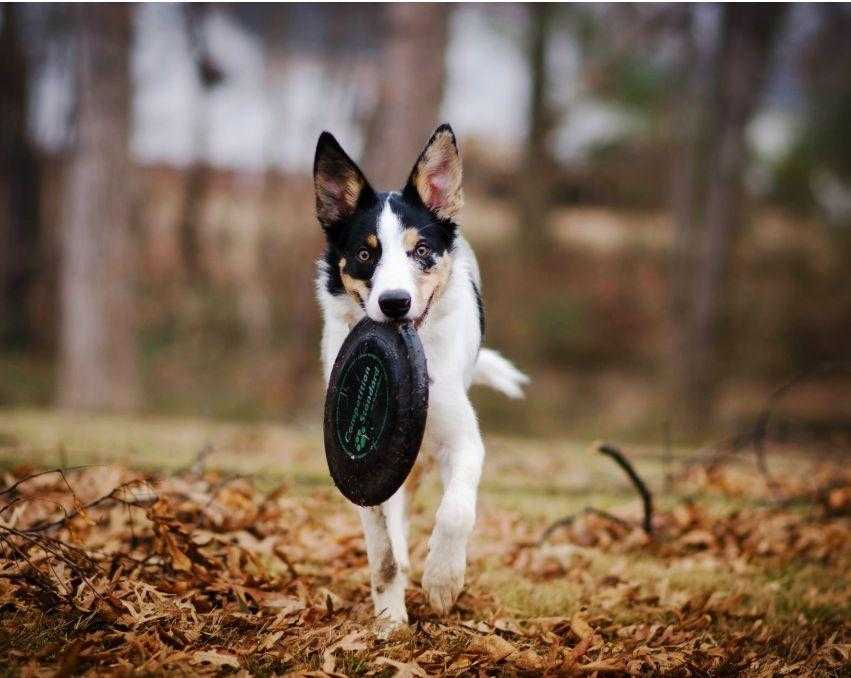 dog-biting-frisbee-disc