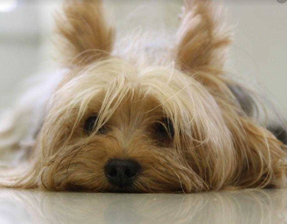 yorkshire-terrier-dog-yorkie