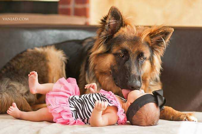 German shepherd as family dog