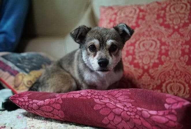 Puppy on Cushion