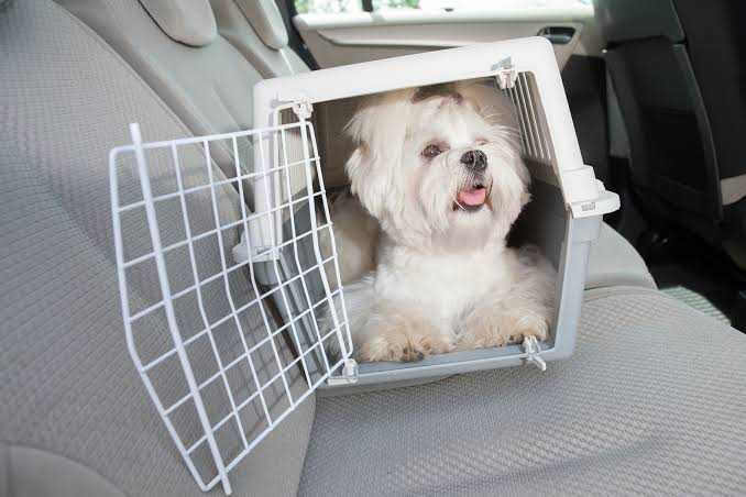 White puppy in cage in car