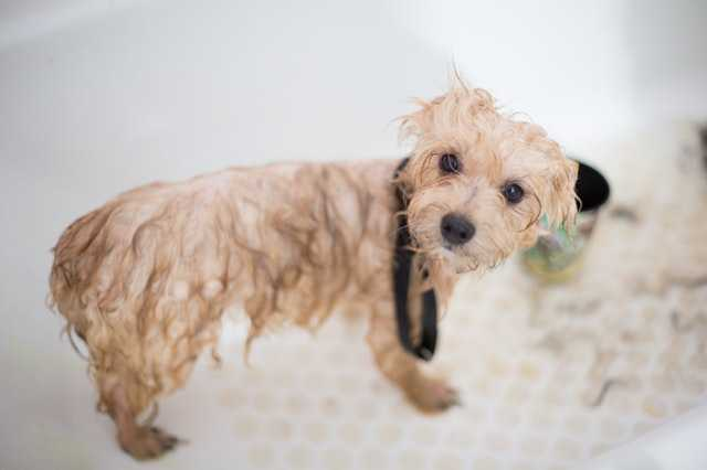 a puppy standing wet in a bathtub after bathing