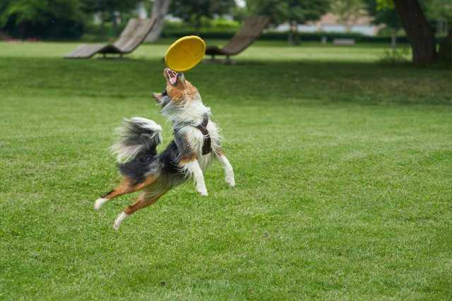 an australian shepherd catching a frisbee in the park