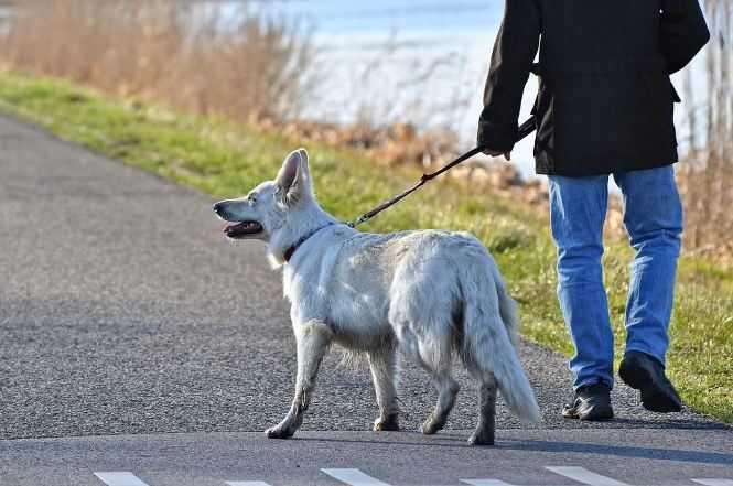 white-dog walking on leash