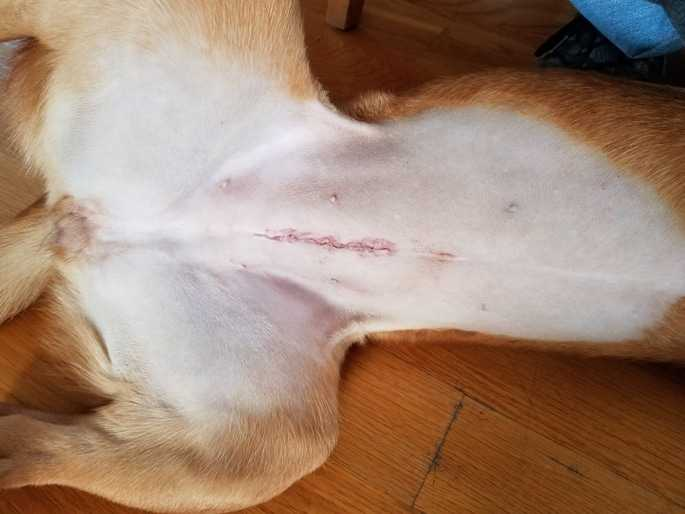 Female_dog_spay_incision