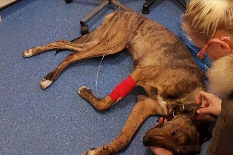 A dog lying down who is affected from Alabama Rot disease.