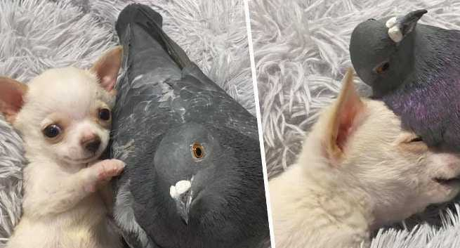 friendship-between-chiuahua-and-pigeon-1