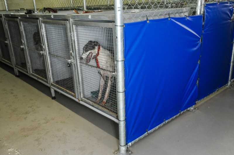 Greyhound kept in cage at Greyhound Racing Victoria