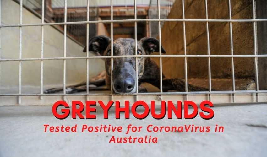 Greyhounds tested positive for coronavirus in australia
