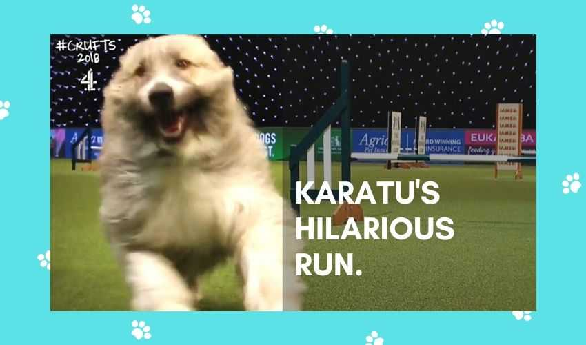 Hilarious video of a dog's disastrous run at Cruft 2020 is a worldwide sensation