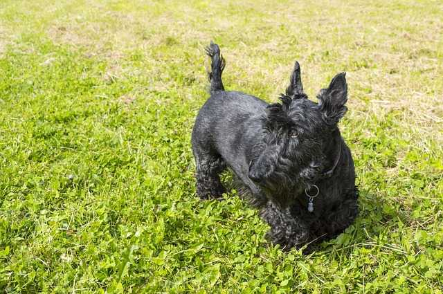 A black Scottish Terrier standing on the grass