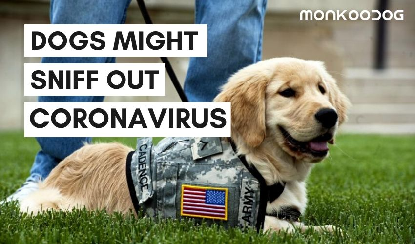 Dogs Are Being Trained To Detect The COVID - 19 virus