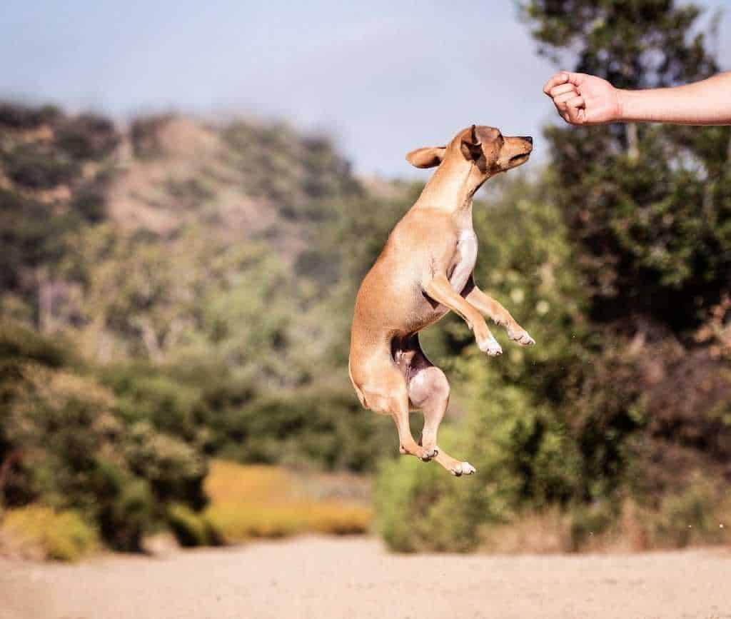 Dog jumping to catch