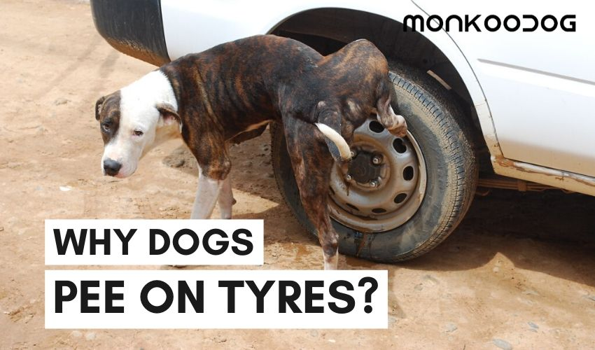 Why dogs pee on car tyres?