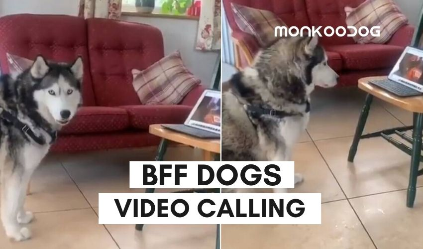 BFF dogs video calling eachother on zoom going viral