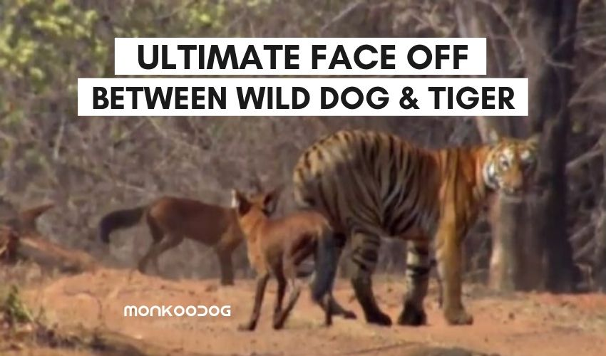 Wild Dog Had An Ultimate Face-off With the Tiger, Leaves Internet Surprised