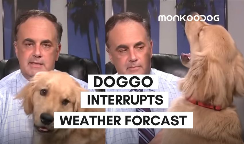 A Dog Steals Hearts of Viewers As He Interrupts A Weather Forecast in This Adorable Video!