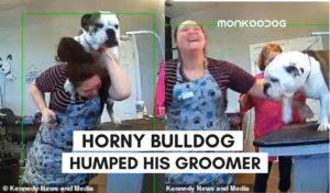 horny bulldog humped dog groomer