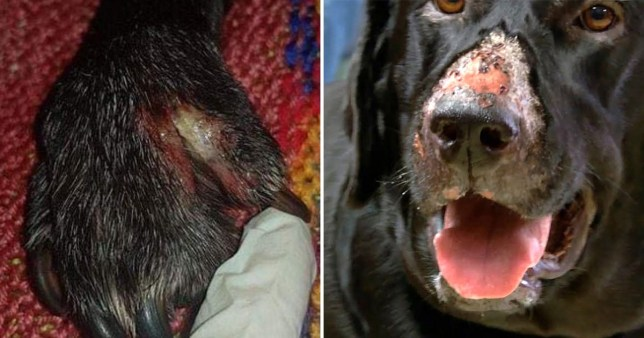 Alabama Rot or CRGV infecting the dog's paws and dog nose caused by bacteria