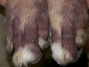 a closeup picture of atopic or allergic dermatitis infection on dog's paws