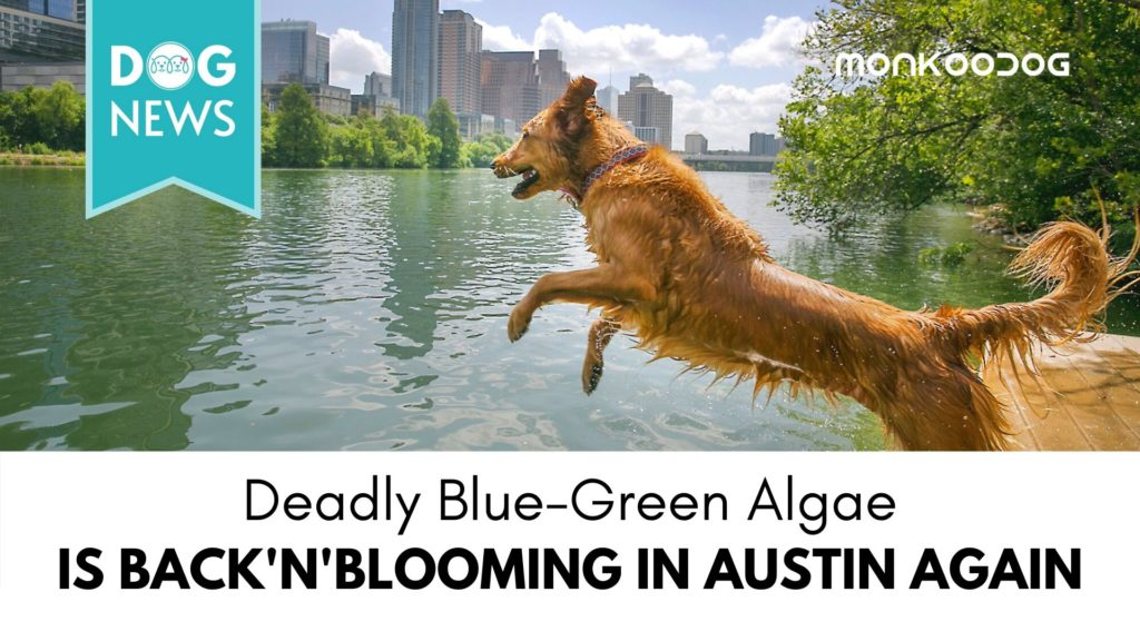 Austin's dog killing algae seems to be back in bloom with the rising temperature