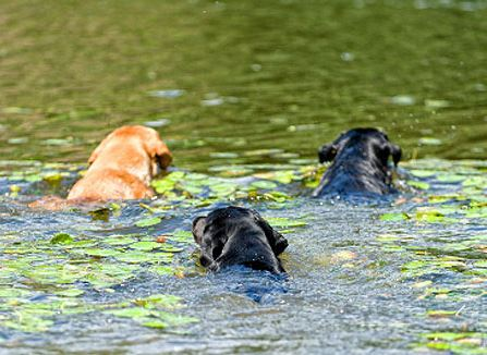 Three Labrador dogs are swimming in the lake. Austin's dog killing algae seems to be back in bloom with the rising temperature.
