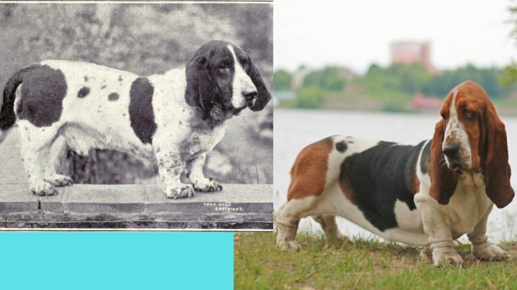 Basset Hound dog breed evolution