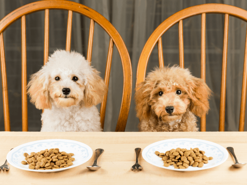 Two poodles sitting on chair and having best puppy food in the world