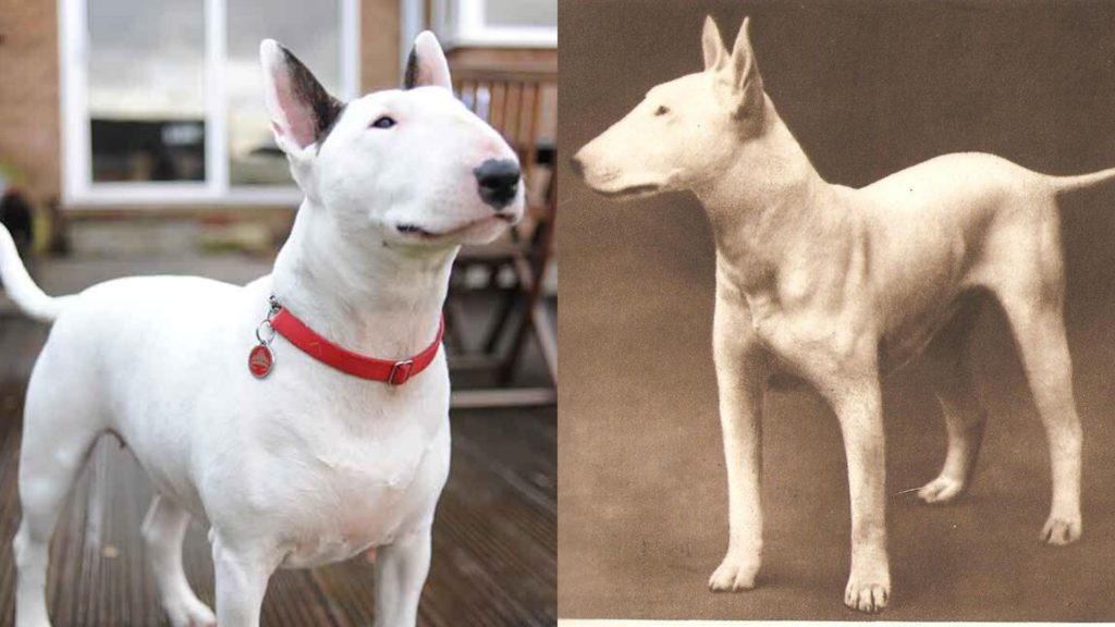 Bull Terrier dog breed evolution