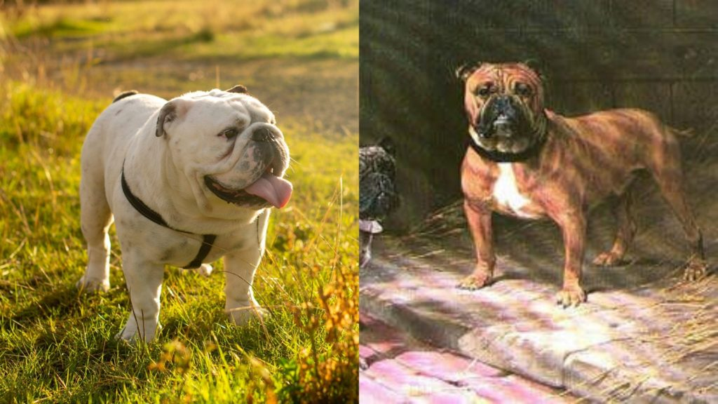 English Bulldog breed evolution