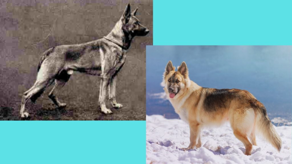 German Shepherd dog breed evolution