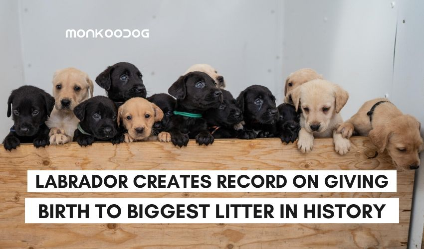 Labrador Bella creates a world record on giving birth to the largest litter in history