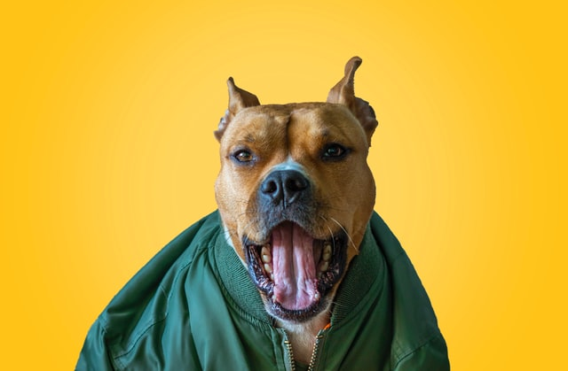 A Pitbull yawning at the camera. MYTH BUSTED Is It True That PitBulls Lock Their Jaws When They Bite & Grip