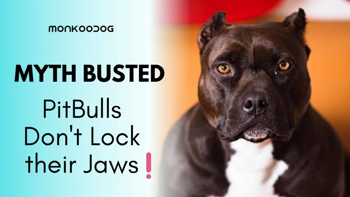 MYTH BUSTED: Is It True That PitBulls Lock Their Jaws When They Bite & Grip?
