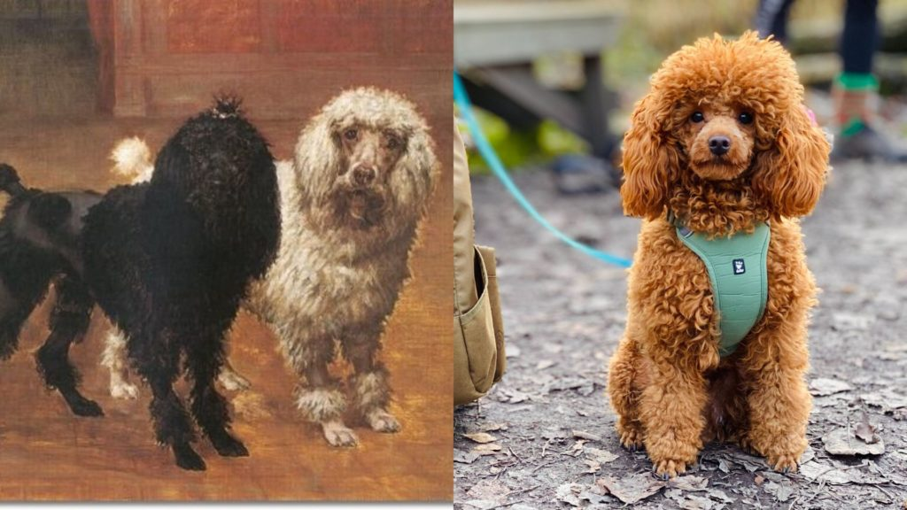 Poodle dog breed evolution