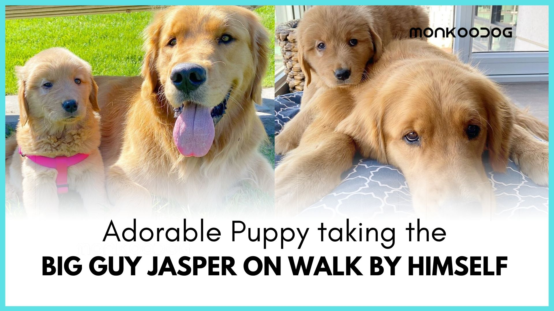 Puppy leading the way with the leash of an Adult Puppy on a walk is the latest viral international craze