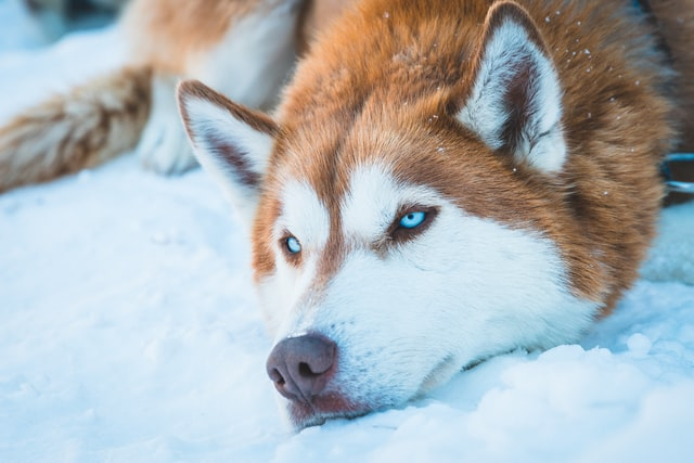 Siberian Husky dog breeds evolution