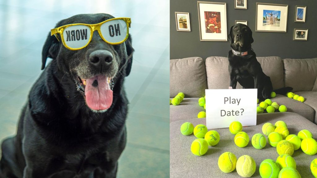 Ttirado , a black labrador posing on his retirement party with his gift.