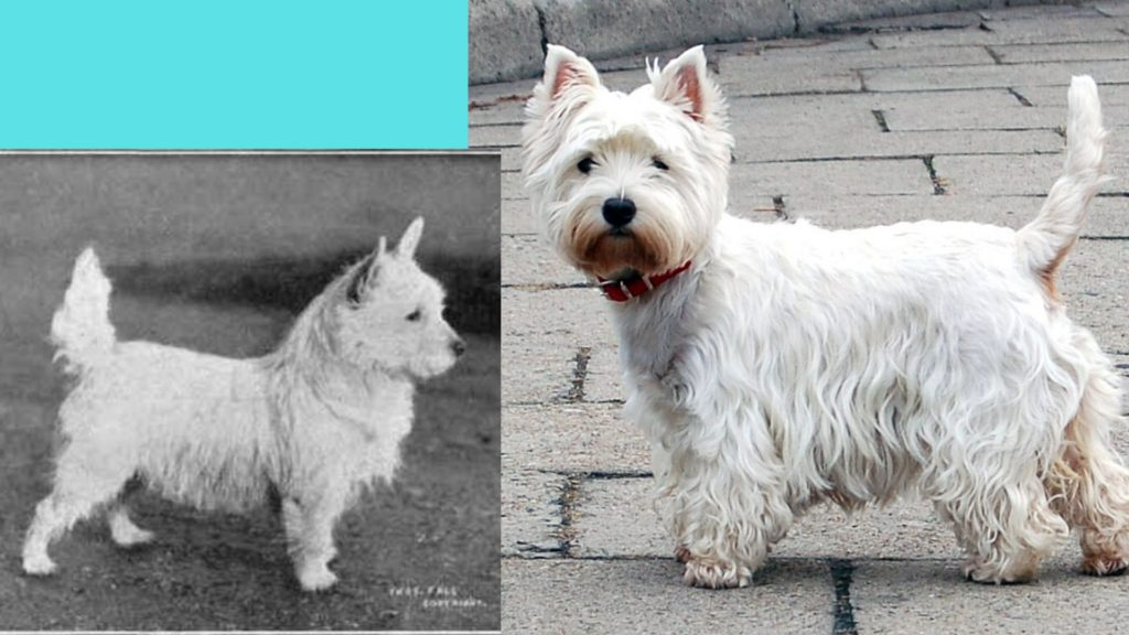 West king white terrier dog breed evolution