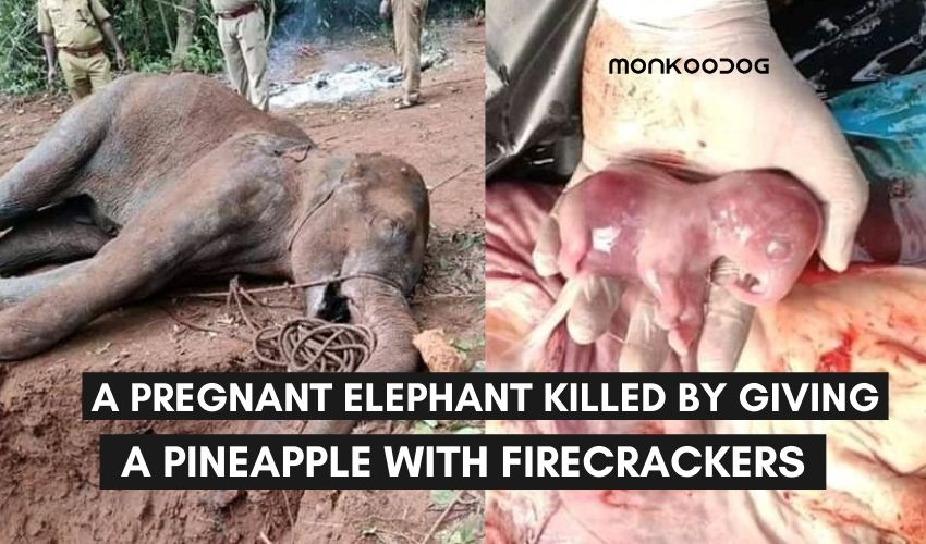 a pregnant elephant was killed by giving her pineapple with firecrackers. animal cruelty in kerala, India