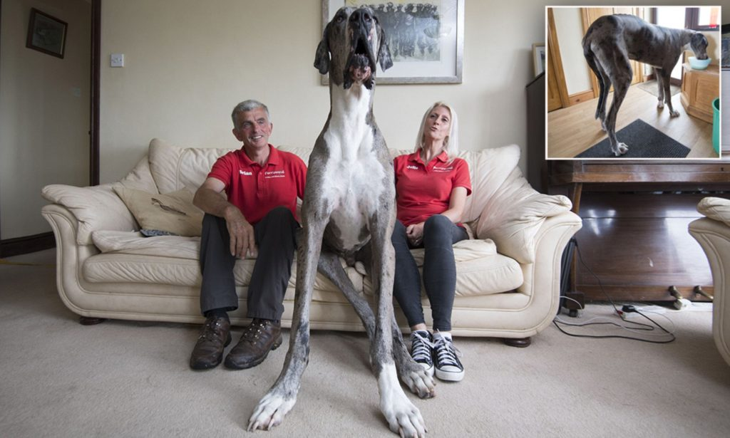 Julie and Brian Williams, owners of Perriswood archery centre in Penmaen, Gower, with their Great Dane Major who is in the running to be named the tallest dog in the world by the Guinness Book of Records.