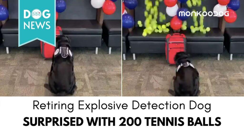 Retiring explosive detection dog surprised with 200 tennis balls