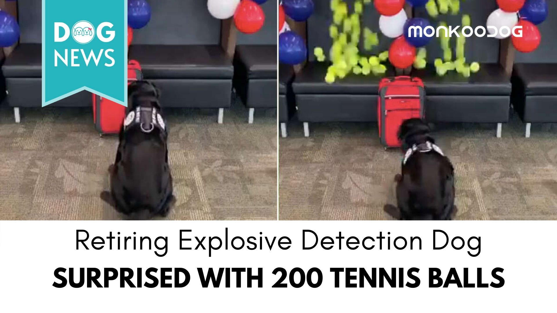 Retiring explosive detection dog surprised with 200 tennis balls
