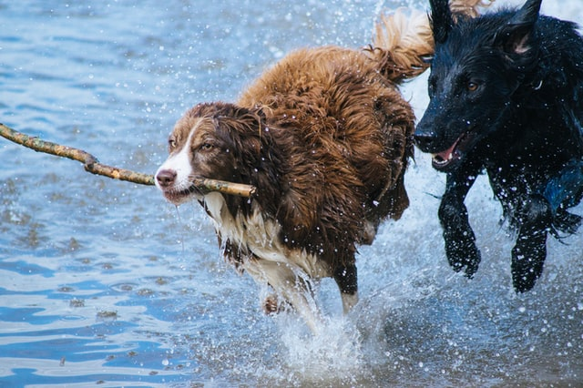two dogs running in water.
