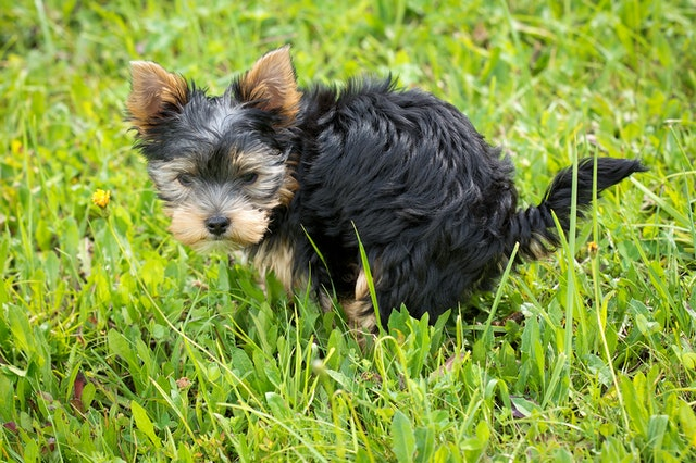 Yorkshire-terrier-small-puppy-pooping-on-green-grass-field