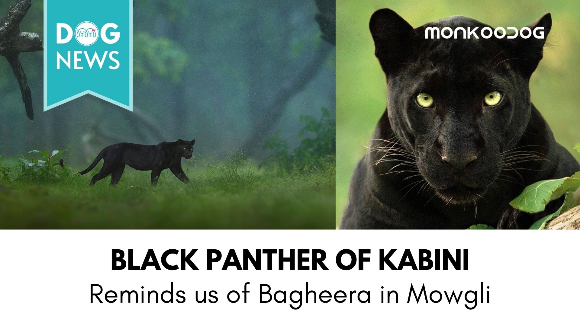 Black Panther spotted in Karnataka's Dense Kabini Forest. Pictures going Viral.