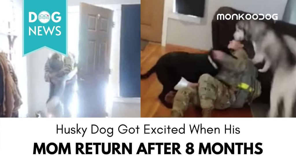 Husky Dog got so Excited when Mom Came Home from 8-Months Deployment.